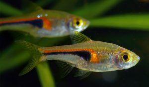 Compatible Tank Mates With Guppies Guppy Aquarium In 2020 Fish Tank Terrarium Guppy Fish Tank