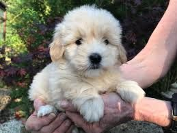 Cotonoodle Puppy For Sale Google Search Puppies King S Lynn