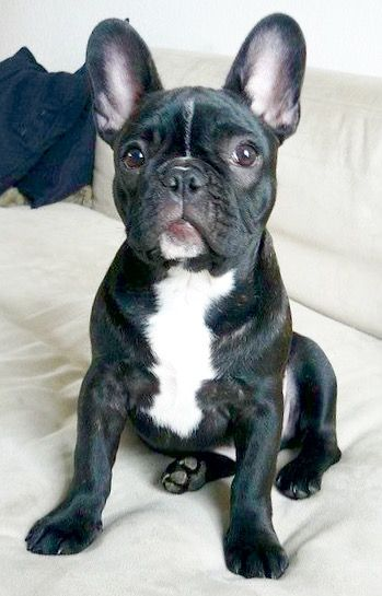 Polish The French Bulldog Puppy Puppy Time Puppies French