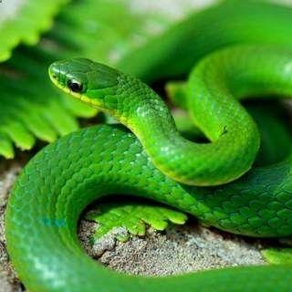Smooth Green Snake Harmless And So Cute Animal Symbol Green