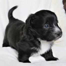 Welsh Corgi Mix Puppies For Sale Lancaster Puppies Corgi Mix