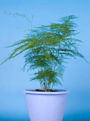 Asparagus Pierzasty Uprawa I Pielegnacja Asparagusa W Doniczce Plants Asparagus