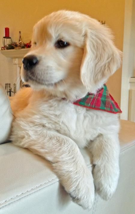 Jack The Golden Retriever This Is My Good Side Very Handsome