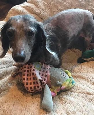 Pearland Tx Dachshund Meet Matilda A Pet For Adoption With