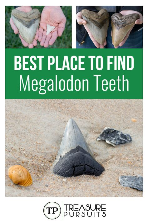 Want to find some teeth from the biggest sharks to ever swim planet earth? Here we will share the best places to find some of the highly sought after megalodon teeth. Did you know these teeth can go for hundreds, even thousands of dollars? Vacation Places, Vacation Destinations, Vacation Spots, Places To Travel, Places To See, Greece Vacation, Dream Vacations, Visit Florida, Old Florida