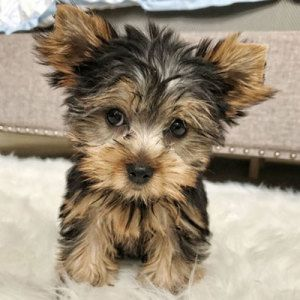 Browse The Widest Most Trusted Source Of Yorkshire Terrier Puppies For Sale Search By Desired Gender Yorkshire Terrier Puppies Yorkie Puppy Yorkshire Terrier
