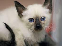 Siamese Cats For Sale Siamese Cats For Sale Kitten Adoption Cat Breeds Siamese