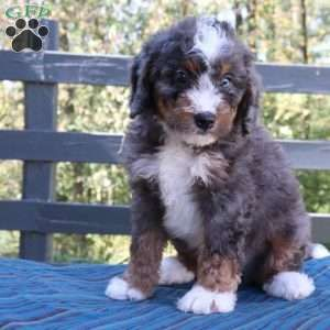 Clayton Mini Bernedoodle Puppy For Sale In Ohio Mini Bernedoodle Bernedoodle Puppy Bernedoodle