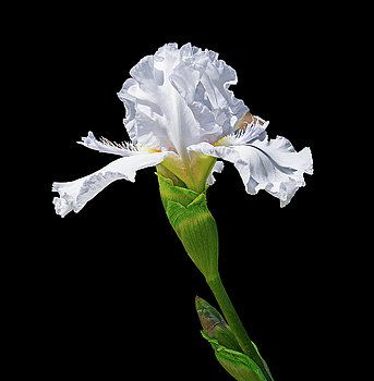 White Iris With Black Background By Lowell Monke Iris Flowers White Iris Black Backgrounds