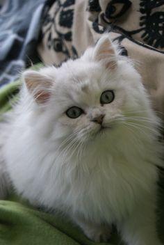 British Longhair British Longhair Hubsche Katzen Haustiere