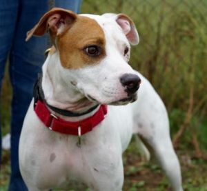 Rolo Adoptable Dog Adult Male Mixed Breed Dog Adoption Pet