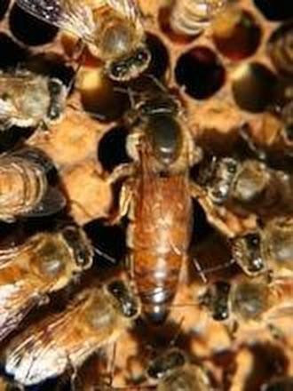 40++ Honey queen information