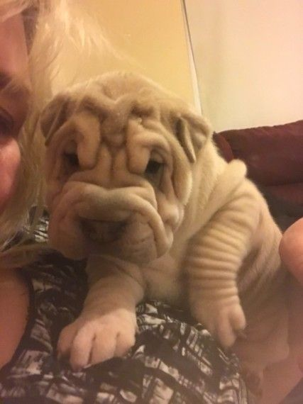 Shar Pei Puppies Pontefract West Yorkshire Pets4homes Dogs
