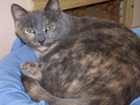 Adopt Melody on Tortoiseshell cat, Cat and Grey cats - i have no objection