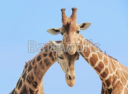 """Giraffe couple in love"" - Love posters and prints available at Barewalls.com"