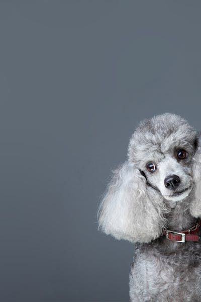 How To Groom A Curly Haired Dog Dogs Curly Hair Styles Dog Hacks