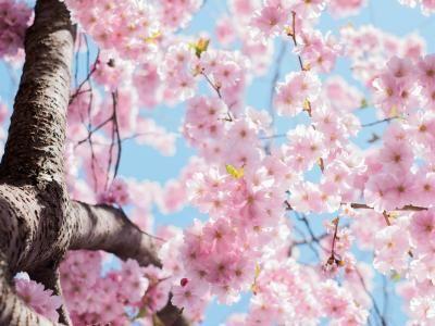 Japan 2020 Cherry Blossom Festival Updated Dates Cherry Blossom Festival Cherry Blossom Japan Cherry Blossom
