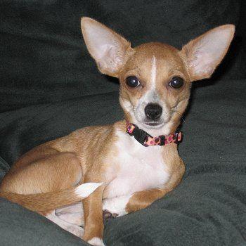 Brown Tan And White Chihuahua Google Search Chihuahua Mix