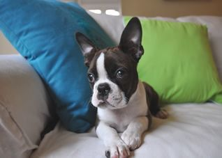 Boston Terrier Puppy Soo Cute But Soo Dumb Puppy