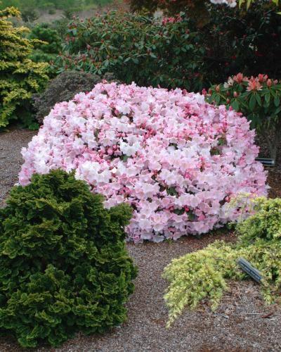 Rhododendrons   Page 2   Singing Tree Gardens Nursery   ACID