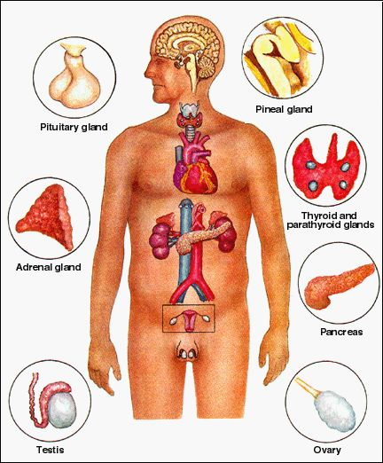 endocrine system disorders in children   the explanation of, Muscles