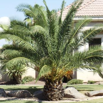 Pineapple Palm Palm Trees For Sale Palm Trees Mediterranean
