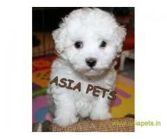 Bichon Frise Pups Price In Mumbai Bichon Frise Pups For Sale In