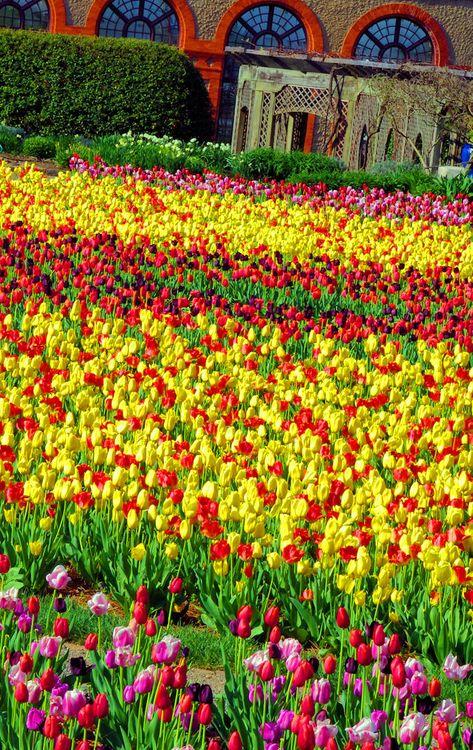 #Tulips at #Biltmore House & Gardens in Asheville NC. More Biltmore photos: www.romanticasheville.com/Biltmore.html