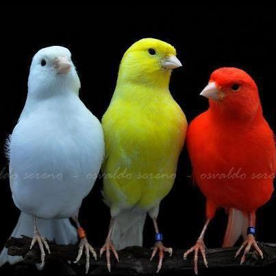 بالصور أجمل أنواع الكناري من حيث اللون والشكل Birds Color Bird