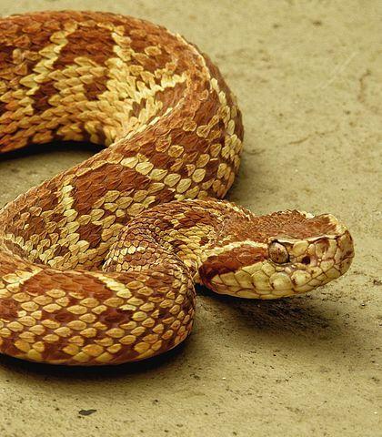 12 Cobras Mais Venenosas E Perigosas Do Brasil Cobras Venenosas