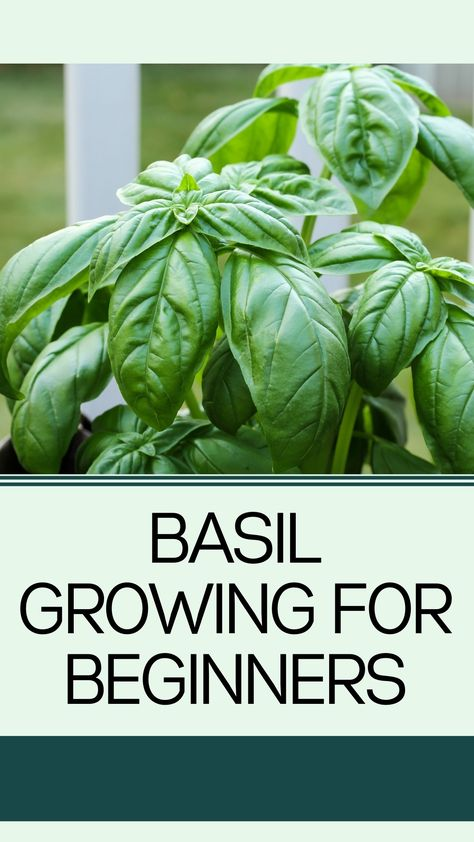 Basil Growing for Beginners