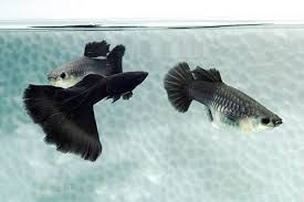 Black Moscow Male And Female Guppies Guppy Fish Guppy Fish