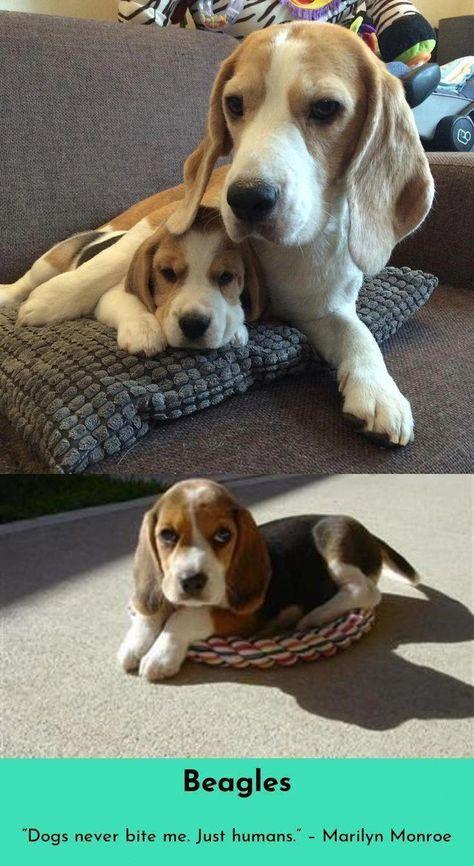 Beagle Tips Beagle Dog Beagle Puppy Dog Breeds