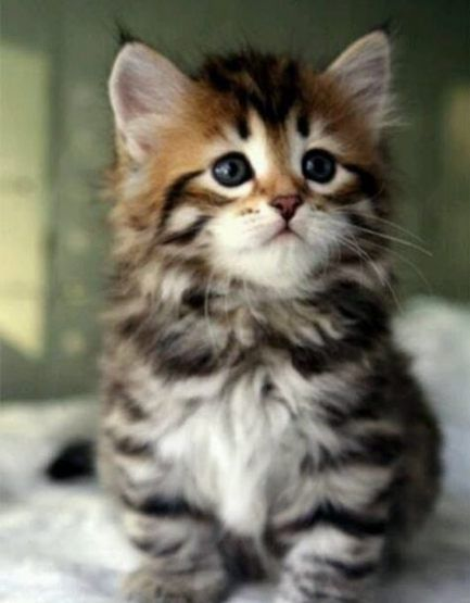 46 Trendy Ideas For Memes Anime Kittens Cute Cat Breeds Kittens Cutest Funny Dog Faces