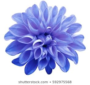 Flower Light Blue Pink Dahlia Isolated On White Background Is No Shade Suitable For Designers Closeup Flowers Dahlia Flower Lights