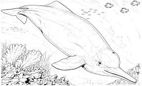 Image Result For Pink River Dolphin Drawing Pink River Dolphin
