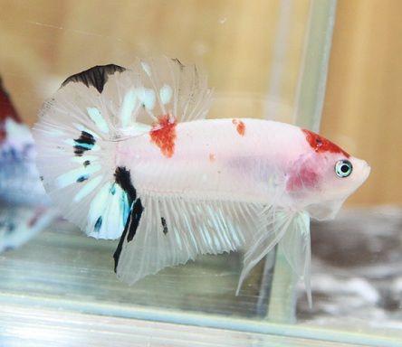 Tancho Koi Male Koi Betta Betta Fish Fish For Sale