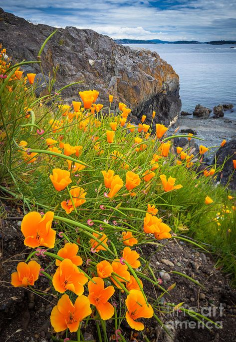 Beach Photograph - Cattle Point Poppies by Inge Johnsson