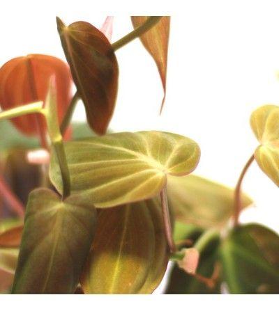 Comprar Philodendron Micans Philodendron Scandens Micans Citysens Filodendro Semillas De Plantas Plantas De Interior Resistentes