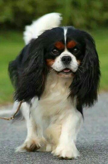 Tricolor Cavalier Cavalierkingcharlesspanieltricolor Cavalier King Charles Spaniel Tricolor King Charles Cavalier Spaniel Puppy King Charles Dog