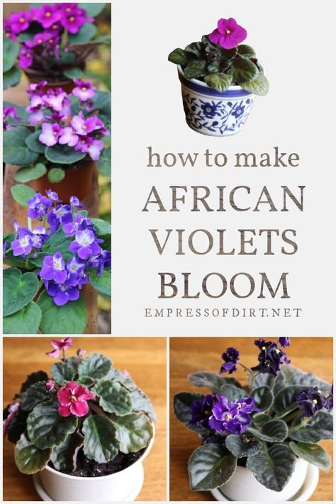 How to make African violets bloom over and over again. Find out what your plant needs to produce flowers. #houseplants