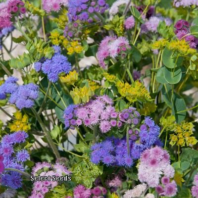 Floss Flower Ageratum Houstonianum Timeless Mix Uploaded By Joy I Got Seeds In Nfsr Swap Nov 2018 Flower Seeds Seeds Happy Flowers
