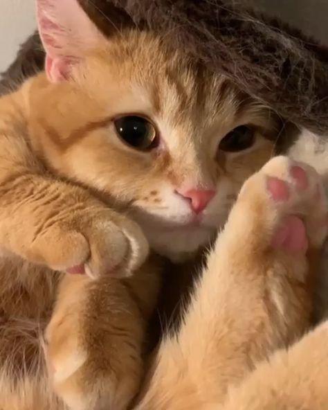 """From @luna_pooh_cats_: """"こんばんにゃ🐾  ぐにゃぐにゃぷーちゃん😽💕  なんて体柔らかいんでしょ😳猫さんってすごい💖うらやましいなぁ✨  .  久しぶりにお祭り参加させてもらうにゃ😸"""" #catsofinstagram  (Feed generated with FetchRSS )"""
