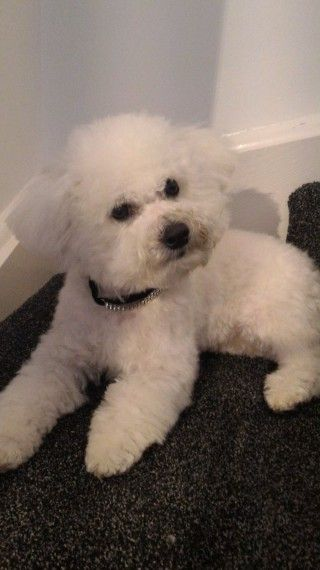 Gorgeous F1 Poochon Puppies Pra Clear Poochon Puppies Puppies
