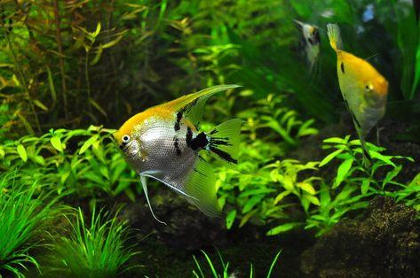 How To Get Rid Of Algae In Fish Tank Dietstamp In 2021 Pet Fish Fish Tank Cleaning Fish Tank