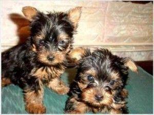Top Quality Yorkie Puppies For Free Adoption Brick Nj Asnclassifieds Yorkiepuppynj Yorkie Puppy Teacup Yorkie Puppy Yorkie
