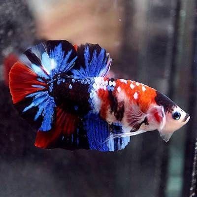 Live Betta Fish Fancy Multi Colors Koi Galaxy Halfmoon Plakat Hmpk Male 459 Betta Fish Tank Pet Fish Tropical Fish Aquarium