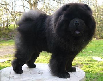 Black Chow Chow Male 3 Chow Dog Breed Chinese Dog Black Chow Chow