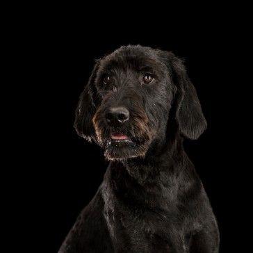 Labradoodle Der Labradoodle Ist Aus Zwei Der Beliebtesten Hunderassen Hervorgegangen Dem Pudel Und Dem Labrador Re Labrador Retriever Labrador Labrador Funny