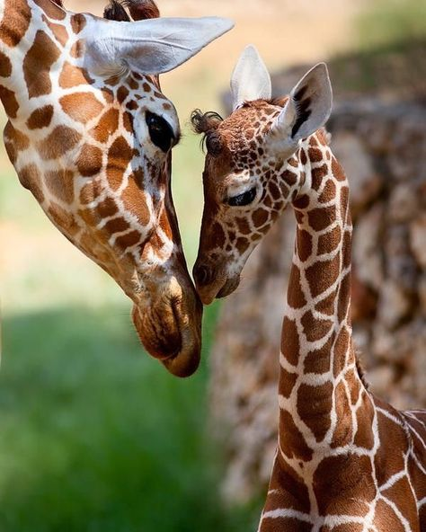 Do you still love African giraffes #animals #animal #pet #dog #cat #dogs #cats #photooftheday #cute #pets #instagood... cat recipes monty the cat cats things cat base awesome cats cat and dog